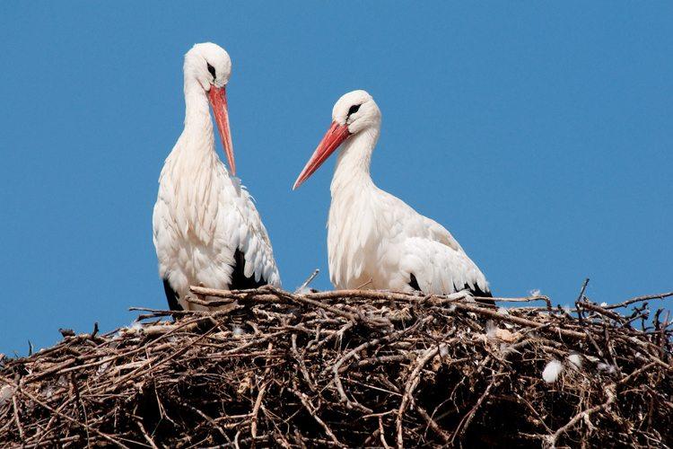 Ein Storchenpaar (Bild: Affenberg Salem)