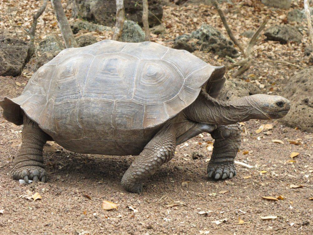 Riesenschildkröte G. n. chathamensis, San Cristobal. (Urheber: mtkopone / Wiki)