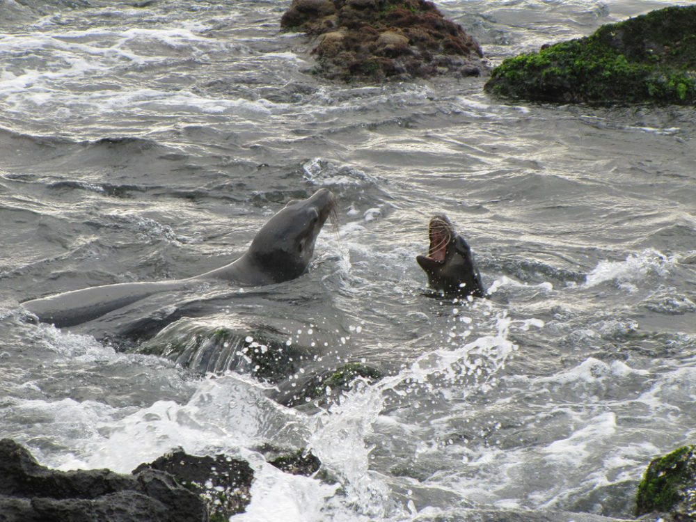 Seelöwen, San Cristobal, Galapagos Inseln. (Urheber: David Berkowitz / flickr.com)