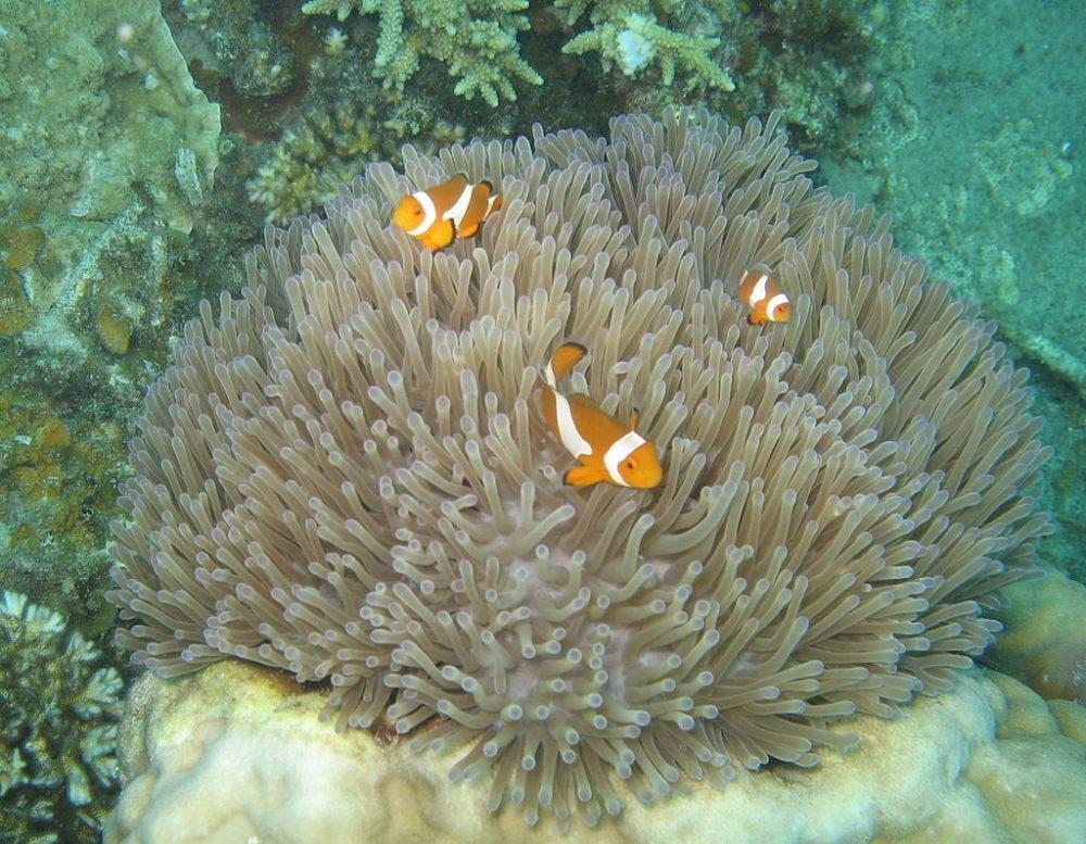 """Clownfische, Seeanemone, Pulau Perhentian Besar, Malaysia. (Urheber: Bart de Goeij / Wiki / Lizenz: <a href=""""http://creativecommons.org/licenses/by-sa/3.0/deed.de"""" target=""""_blank"""">CC</a>)"""