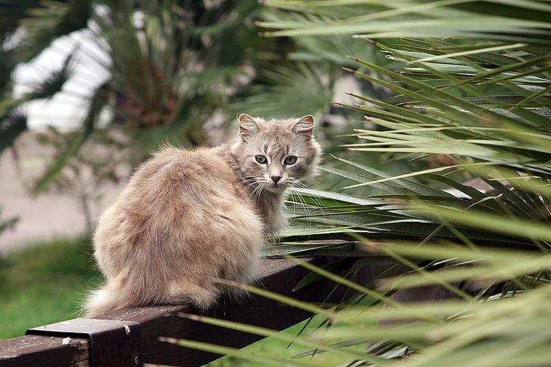 Sardische Katze (Bild: Roberto Ferrari, Wikimedia, CC)