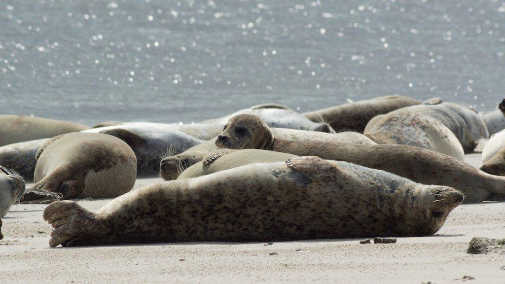 An Norderneys langen Stränden fühlen sich auch Seehunde sichtlich wohl. (Bild: Lothar Krause / pixelio.de)