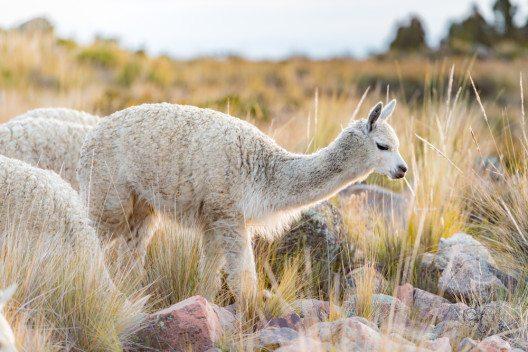Alpakas grasen friedlich auf den Feldern. (Bild: © sharptoyou - shutterstock.com)