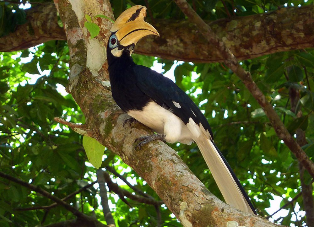 Nashornvögel auf der Insel Pangkor (Bild: SurLaRoute.fr, Wikimedia, CC)