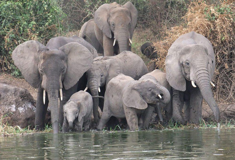 Elefantenfamilie am Kazinga-Kanal in Uganda (Bild: Dfg13, Wikimedia, CC)