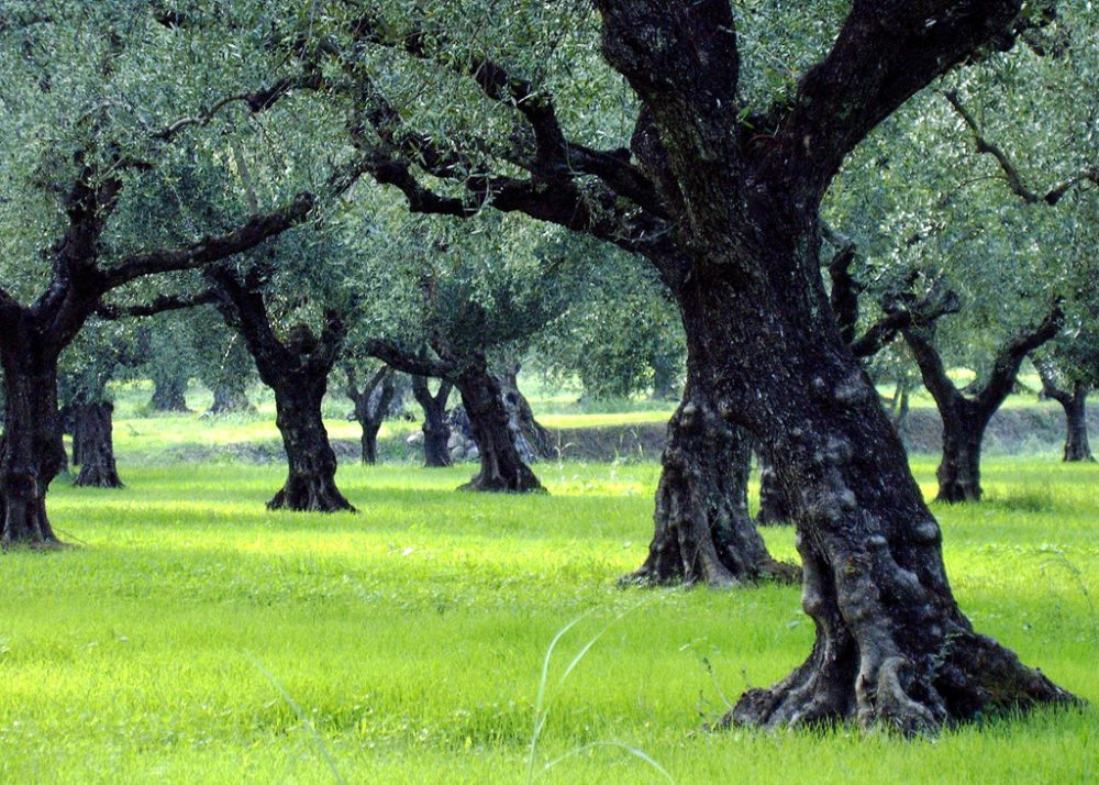 Olivenbaumhain auf Zakynthos (Bild: Domaris / pixelio.de)