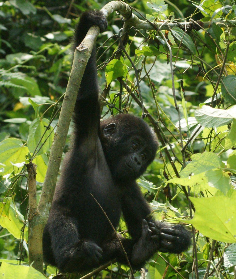 gorillas spielen