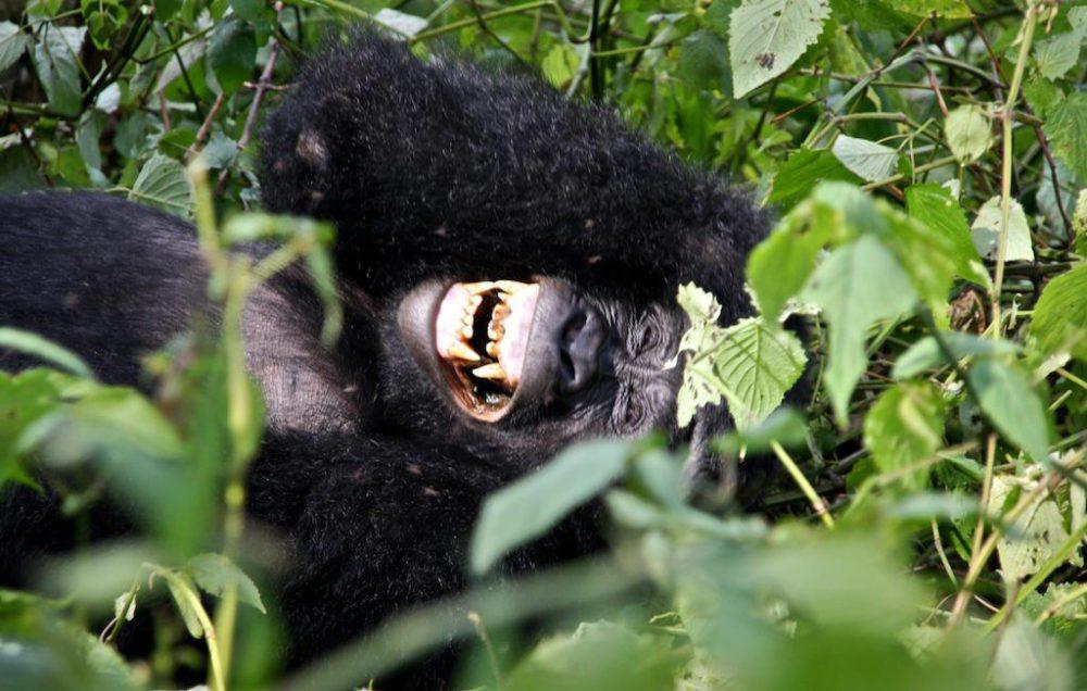 Heitere Stimmung bei den Gorillas der Nshongi-Familie, Uganda (Bild: Justin Norton, Wikimedia, CC)