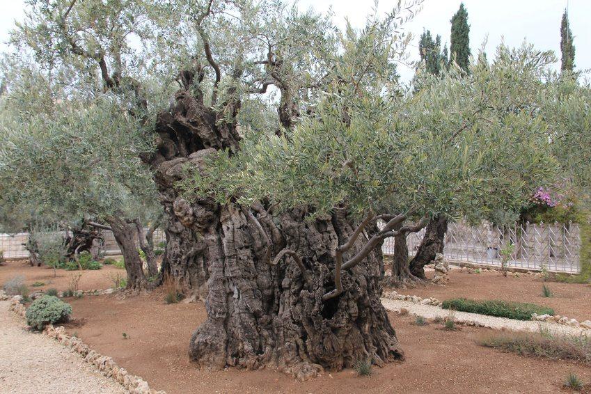 Jerusalem - Ölbaume, 1000 Jahre und älter (Bild: Volker Haak, fotolia)