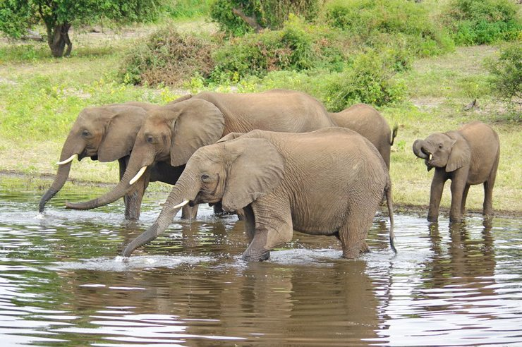 Elefanten im Chobe Nationalpark (Bild: Bgabel, Wikimedia, CC)