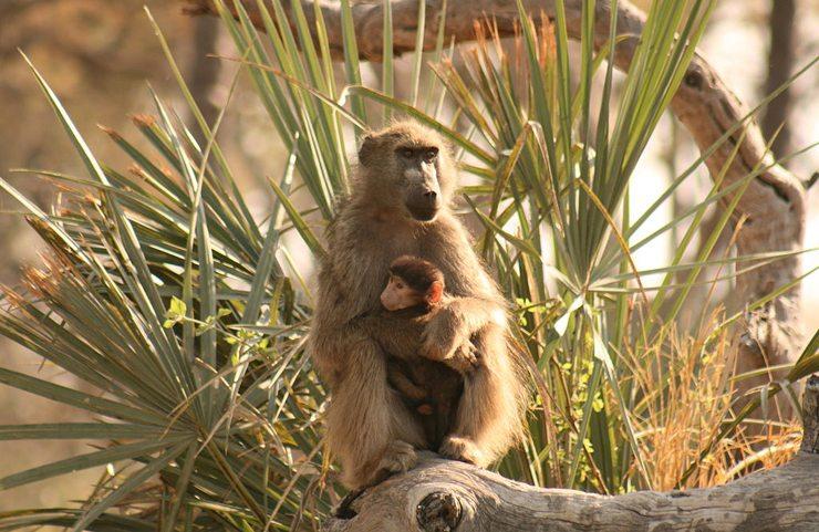 Pavian-Weibchen mit Baby im Okavango-Delta (Bild: Ian Restall , Wikimedia, CC)