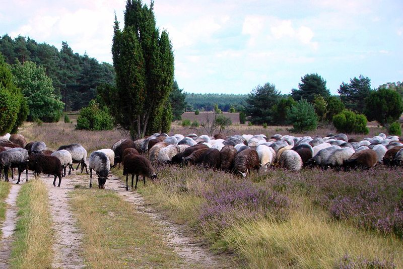 Heidschnucken im Naturpark Südheide (Bild: Hajotthu, Wikimedia, CC)