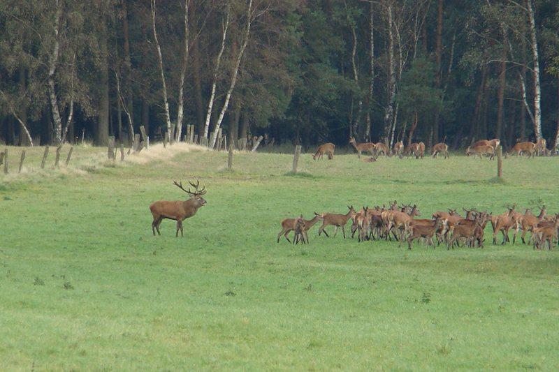 Hirschbrunft im Naturpark Südheide (Bild: Hajotthu, Wikimedia, CC)