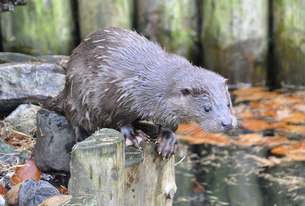Fischotter im Wildpark Lüneburger Heide (Bild: Quartl, Wikimedia, CC)