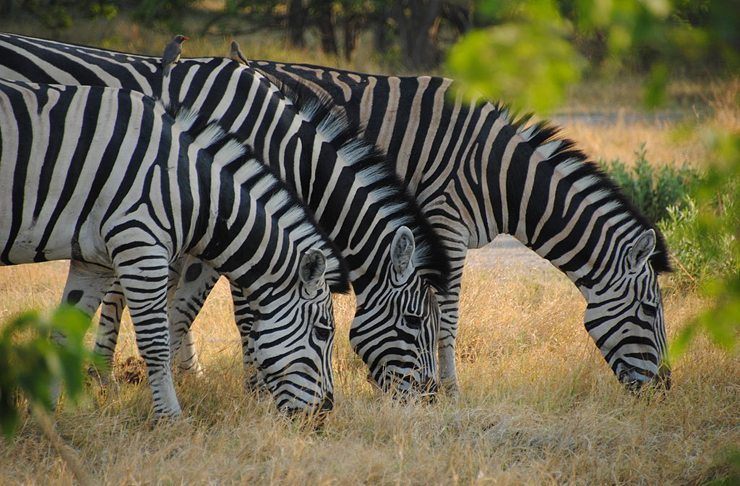 Moremi Game Reserve - ein Naturparadies von ganz besonderer Schönheit mit einer fantastischen Tierwelt (Bild: diego_cue, Wikimedia, CC)