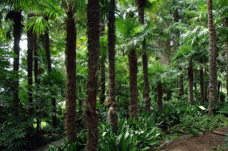 Palmenwald auf der Isole di Brissagoim Lago Maggiore (Bild: Acp, Wikimedia, CC)