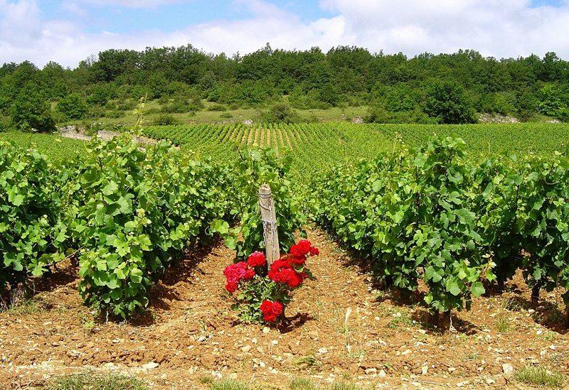 Burgund ist Heimat hochwertiger Weine (Bild: Günther Eichler, Wikimedia)