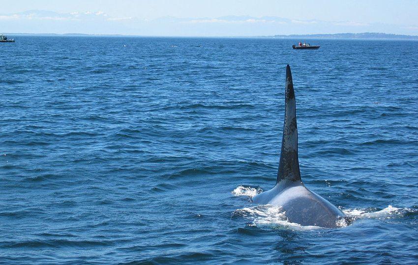 Riesige Säugetieren des Meeres ganz nah (Bild: Kevstan, Wikimedia, CC)
