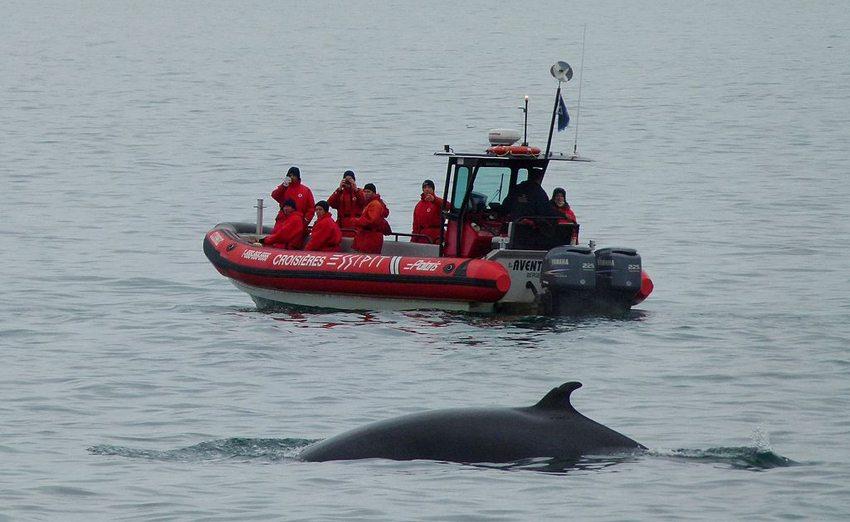 Wal im St. Lorenz Strom bei Tadoussac, Kanada (Bild: Hans Bernhard , Wikimedia, CC)