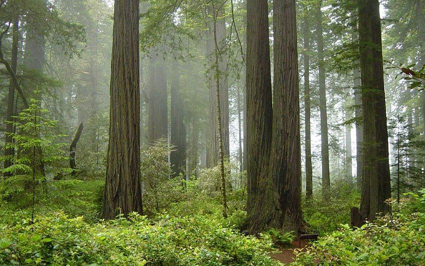 Gigantische Mammutbäume im Redwood-Nationalpark (Bild: Michael Schweppe, Wikimedia, CC) USA Reise