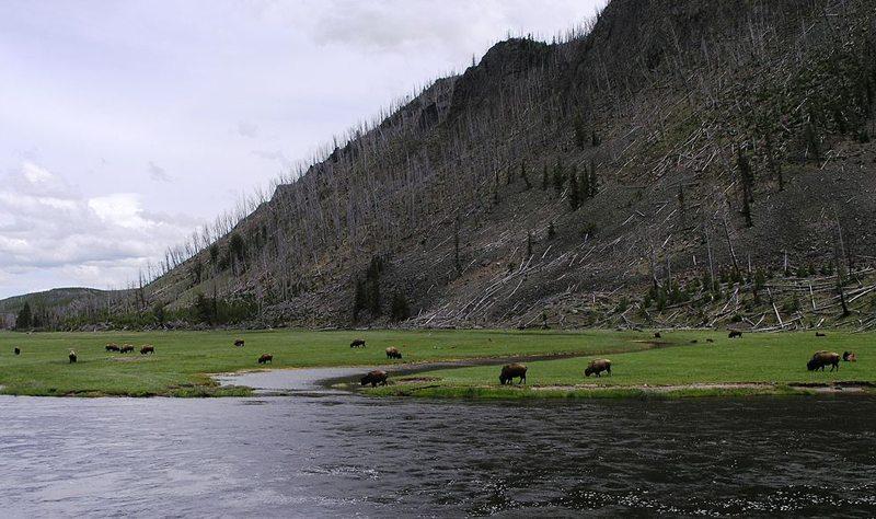 Büffelherde im Yellowstone-Nationalpark (Bild: Mav, Wikimedia, CC) USA Reise