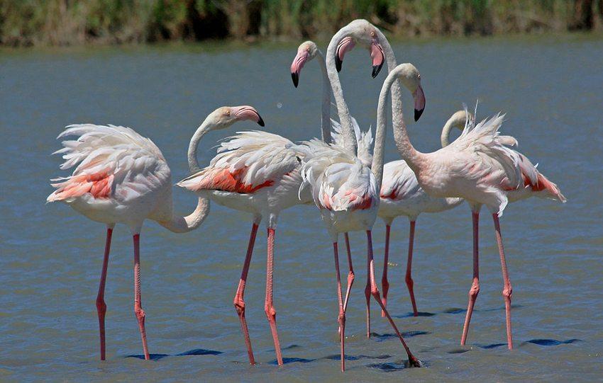 Flamingos in Camargue (Bild: Andrea Schaffer, Wikimedia, CC)