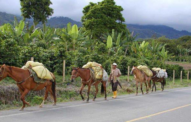 In vielen kolumbianischen Fincas wird der Kaffee per Hand geerntet. (Bild: gustavo alegrias, Wikimedia)