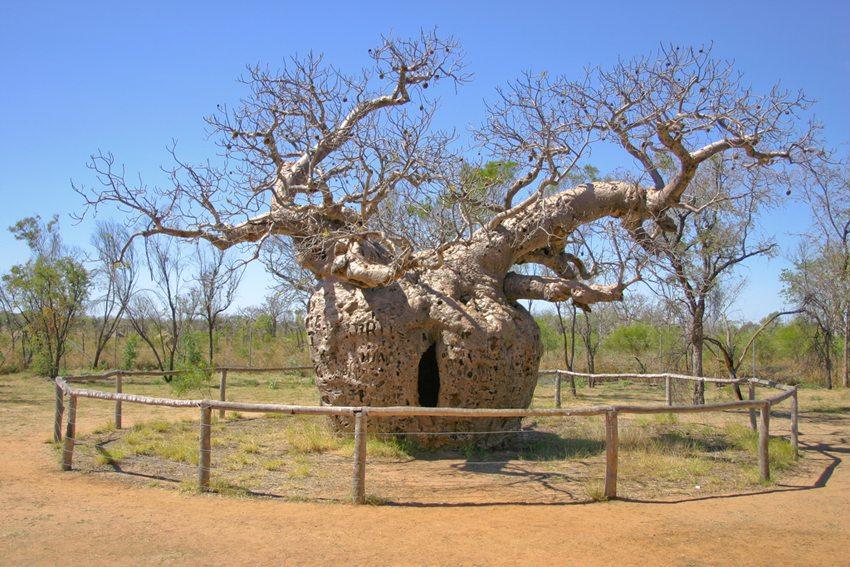 Boab Prison Tree - ein Baum der als Gefängnis genutzt wurde, nahe Derby (Bild: Martin Kraft, Wikimedia, CC)