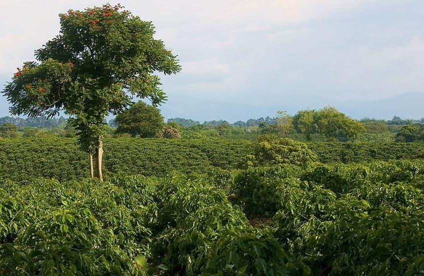 Kaffeeplantage in Quimbaya, Quindío, Kolumbien (Bild: Shaun McRae, Wikimedia, CC)