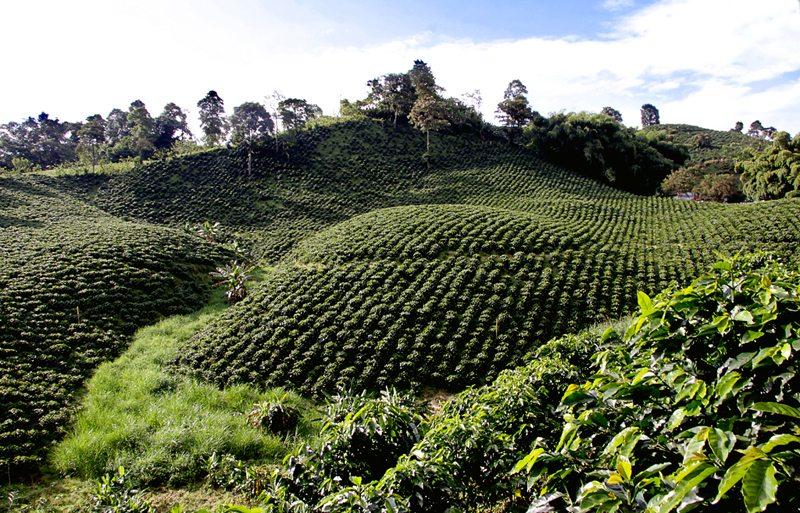 Kaffeeplantage im Kaffeedreieck Kolumbiens (Bild: Triángulo del Café Travel, Wikimedia, CC)