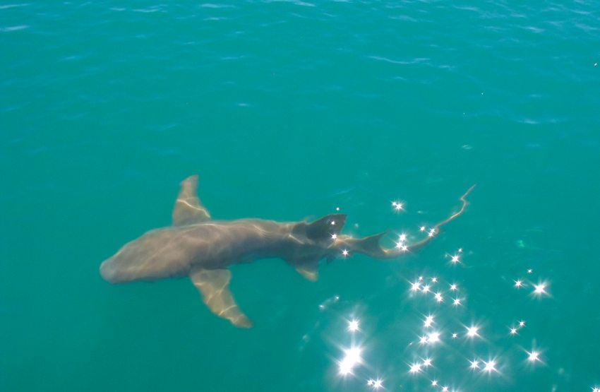 Ein ca. zwei Meter langer Hai besucht die Station (Bild: Rainer Hitzler - www.briefvogelservice.de)