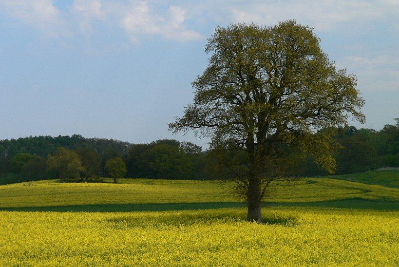 Blühendes Rapsfeld in Holstein (Bild: Wmeinhart, Wikimedia, CC)