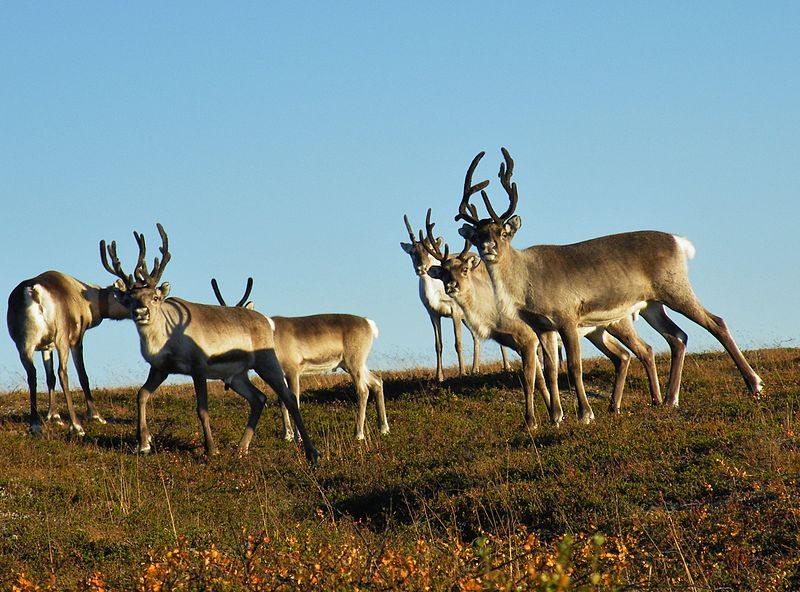 Neugierige Rentiere im Urho-Kekkonen-Nationalpark (© Roymartinlindman / Wikimedia / CC)