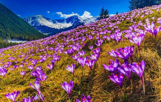 Krokuse in den Tatra Berge (Bild: © gorillaimages - shutterstock.com)
