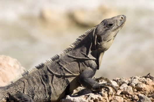 "Leguane im Nationalpark ""Costa Occidental de Isla Mujeres, Punta Cancún y Punta Nizuc"" (Bild: © martin garnham - shutterstock.com)"