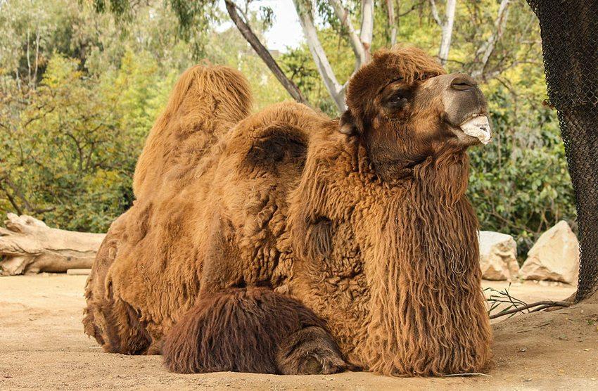 Im Zoo von San Diego (Bild: Bernard Gagnon, Wikimedia, CC) USA Reise