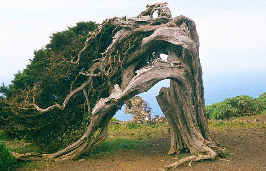 Ein vom Wind gebeugter rotfrüchtiger Wacholderbaum beim Wacholderwald El Sabinar, auf der kanarischen Insel El Hierro (Bild: Eckhard Pecher, Wikimedia, GNU)