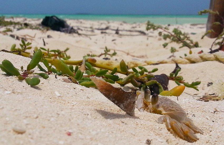 Islas Los Roques – Krabbe versteckt sich im Sand (Bild: Rjsb142014, Wikimedia, CC)