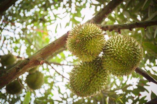 Durian-Baum gesehen während der Spice-Tour auf Sansibar. (Bild: © Nuk2013 - shutterstock.com)
