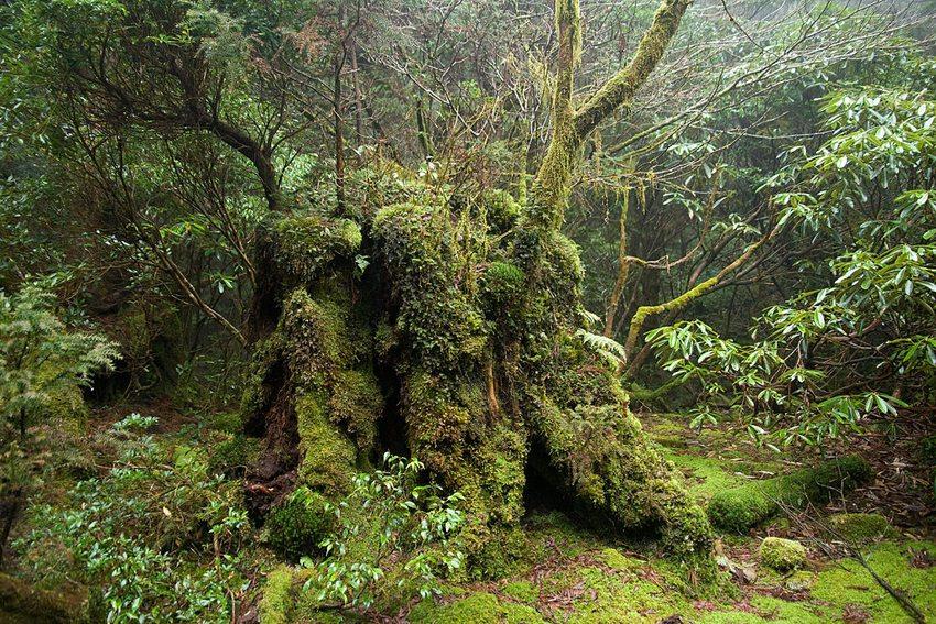 Im Wald von Yakushima (Bild: Σ64, Wikimedia, GNU)