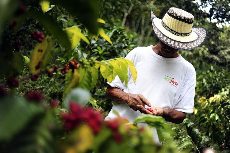 Kolumbianischer Kaffeefarmer bei der Auswahl der Kaffeekirschen (© CIAT / Wikimedia / CC)