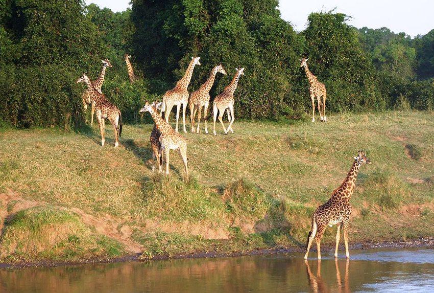 Auf Safari in der Serengeti – Giraffenherde am Mara River. (Bild: Klaus Wilken, Wikimedia, CC)