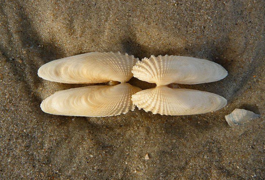 """Schalen der Amerikanischen Bohrmuschel, gefunden im Spülsaum an der ostfriesischen Nordseeinsel Juist, Niedersachsen; diese Muschel wird umgangssprachlich auch als """"Engelsflügel"""" bezeichnet. (Bild: 4028mdk09, Wikimedia, CC)"""