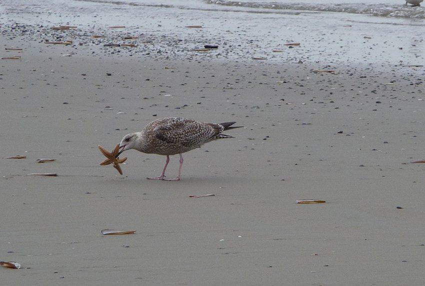 Gemeiner Seestern als Nahrung für eine Jungmöwe, fotografiert am Strand der ostfriesischen Nordseeinsel Juist, Niedersachsen (Bild: 4028mdk09, Wikimedia, CC)