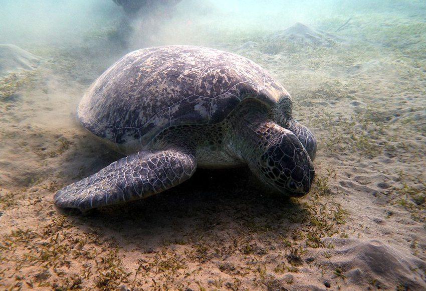 Tauchen in der Bucht von Marsa Murena, Ägypten, Rotes Meer – Meeresschildkröte (Bild: Wusel007, Wikimedia, CC)