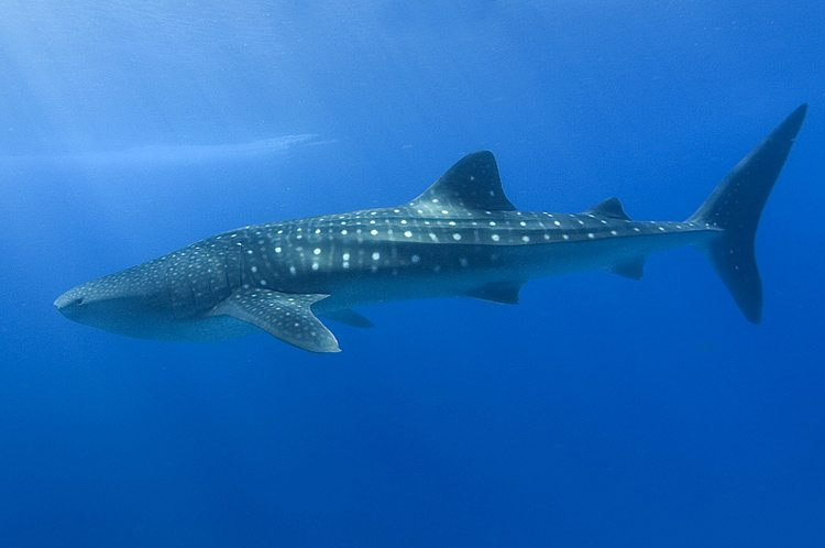 Malpelo im Pazifik – Unterwasser-Mondlandschaft und Hai-Revier (Bild: Shiyam ElkCloner, Wikimedia, CC)