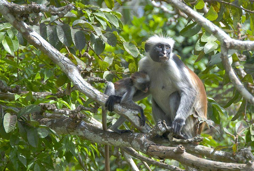 Rote Stummelaffen auf Sansibar (Bild: DidierTais, Wikimedia, CC)