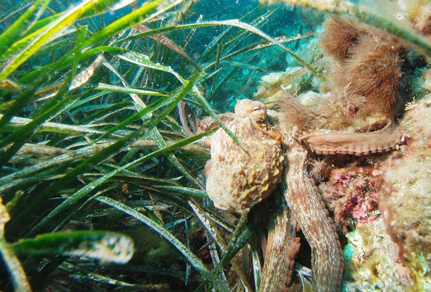 Seit der Errichtung des Meeresschutzgebiets Portofino wachsen sogar die seltenen Posidonia-Seegrasflächen dort wieder. (Bild: Albert kok, Wikimedia, CC)