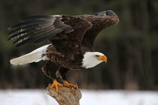Der am weitesten verbreitete Vogel Alaskas ist der Weisskopfseeadler. (Bild: © Chris Hill - shutterstock.com)