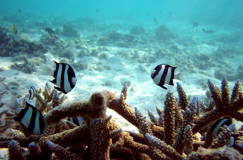 Bei Tauchtouren auf Malediven gibt es über 1.000 Fischarten zu bestaunen. (Bild: Christian Jensen, WIkimedia, CC)